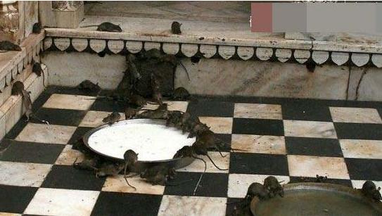 神秘印度圣鼠庙:探究印度人为何供奉老鼠(2)