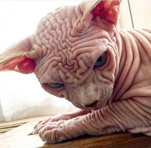 世界上最丑的猫!因全身长满皱纹而风靡网络,如今拥有5000名粉丝